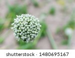 onion flower with seeds close...