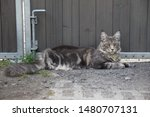 Stock photo  portrait of a main coon cat 1480707131