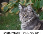 Stock photo  portrait of a main coon cat 1480707134