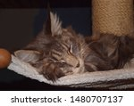 Stock photo  portrait of a main coon cat 1480707137