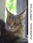 Stock photo  portrait of a main coon cat 1480707161