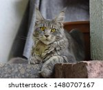 Stock photo  portrait of a main coon cat 1480707167