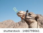 A Camel Drinks Water From A...