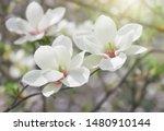 Spring White Flowers Magnolia...