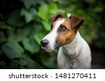 Fox Terrier Portrait Green...