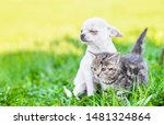 Stock photo white chihuahua puppy and tabby kitten sitting together on green summer grass on a sunny day and 1481324864