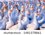 Flock of domestic geese on a...