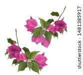 bougainvillea flower branches....   Shutterstock .eps vector #1481385917