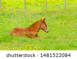 Little Brown Baby Horse Laying...