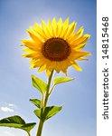 single sunflower on blue sky - stock photo