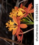 Small photo of brazilian Orchid of the genus Genus Epidendrum