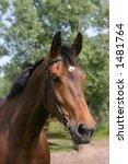 a portrait of a kwnp horse | Shutterstock . vector #1481764