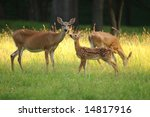 fawn and two does in valley...   Shutterstock . vector #14817916