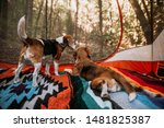 two beagle dogs in a tent... | Shutterstock . vector #1481825387