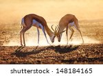 springbok dual in dust  ... | Shutterstock . vector #148184165