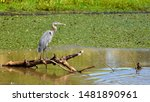 Great Blue Heron Perched On A...
