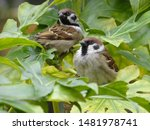 Close Up Of 2 Sparrows Sitting...