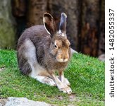 Stock photo mountain hare lepus timidus also known as the white hare 1482055337