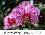 phalaenopsis  is the genus of...   Shutterstock . vector #1482361187