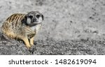 Funny Meerkat Manor Sits In A...