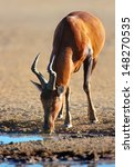 Small photo of Red hartebeest drinking water - Alcelaphus caama - Kalahari desert - South Africa