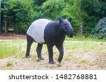 A Malayan Tapir Is Eating Gras...