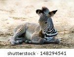 Stock photo grevys zebras is most endangered of species of zebra 148294541