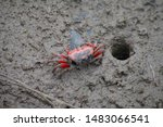 The north Vietnamese sesarmidae crab