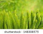 Araucaria Heterophylla  ...