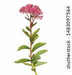 Small photo of Flower of showy stonecrop isolated on white background. Hylotelephium spectabile