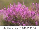 blooming wild pink violet... | Shutterstock . vector #1483314104