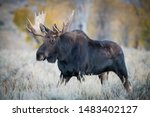 Alces Alces Shirasi  Moose  Elk ...
