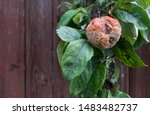 Plant Diseases. Monilinia...