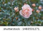 rose flower on background... | Shutterstock . vector #1483531271