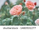 rose flower on background... | Shutterstock . vector #1483531277