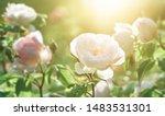 rose flower on background... | Shutterstock . vector #1483531301