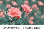 rose flower on background... | Shutterstock . vector #1483531307