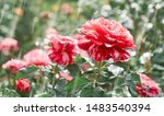 red roses flowers blooming in... | Shutterstock . vector #1483540394