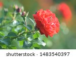 red roses flowers blooming in... | Shutterstock . vector #1483540397