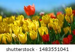 Red Tulip Flower On Background...