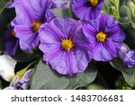 Purple Solanum Flower In Sprin...