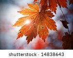 Autumnal Leaf Of Maple And...