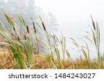 Bulrush In A Wetland In Fog