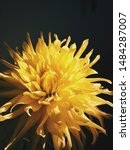 Yellow Dahlia Flower Macro...