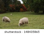 Sheep Grazing In Field  North...