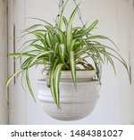 Beautiful Spider Plant Hanging...