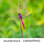 Stock photo the roseate skimmer is a dragonfly 1484609441
