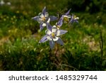 Colorado Columbine, aquilegia caerulea, in the alpine on the Crystal Lakes trail above the wheeler trail near Breckenridge Colorado - stock photo