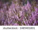 Purple Common Heather  Calluna...