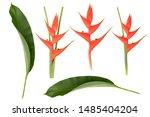 Heliconia Bihai Flower  Red...